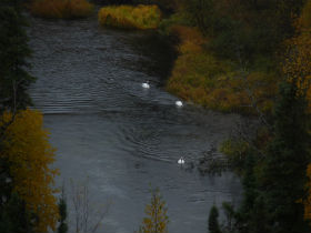 Trumpter Swans in Birch Creek